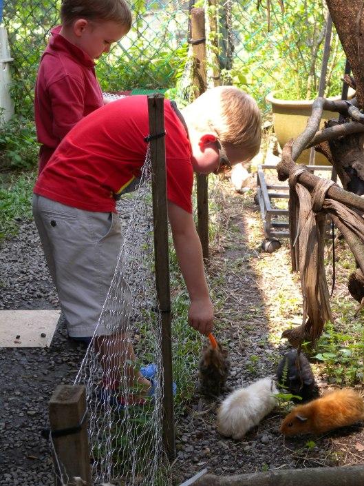 Farmart guinea pigs